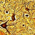 Nerve Tissue by MI Walker