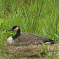 Nesting by Donna Brown