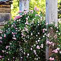 Never Promised You A Rose Garden... by Elizabeth Hart