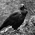 Nevermore - Black And White by Michelle Wrighton