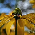 New Cone Flower by Susan Herber