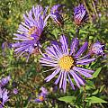 New England Aster Wildflower - Purple by Mother Nature