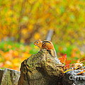 New Hampshire Chipmunk by Catherine Reusch Daley