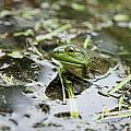 New Hampshire Frog by Jenna Szerlag