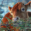 New Years Morning Cow by Donna Greene