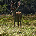 New Zealand Elk by David Gleeson
