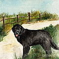 Newfie  by Nancy Patterson