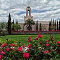 Newport Beach Temple Roses by La Rae  Roberts