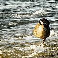 Niagara Duck by Will Cardoso