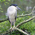 Night Heron On Branch by Jackie Briggs