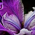Night Iris by Sarah Wiggins