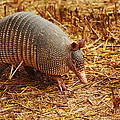 Nine-banded Armadillo Portrait by Roena King