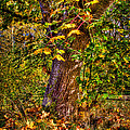 Nisqually Wildlife Refuge P12 The Maple Tree by David Patterson