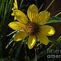 Nodding Bur Marigold by Donna Brown
