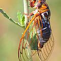 Noisy Cicada by Shane Bechler
