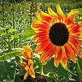 Noontime Sunflowers by Jiayin Ma