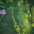 Nootka Rose And Yellow Toadflax by One Rude Dawg Orcutt