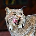 North American Lynx by Paul Fell