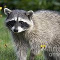 North American Raccoon by Sean Griffin