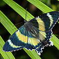North Queensland Day Moth Alcides by Konrad Wothe