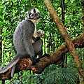 North Sumatran Leaf Monkey Presbytis by Thomas Marent