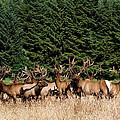Northcoast Elk Along The 101 by Lorraine Devon Wilke