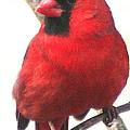 Northern Cardinal Closeup by Laurel Talabere