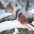 Northern Cardinal Pair 4284 2 by Michael Peychich