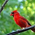 Northern Cardinal  by Ryan Cummings