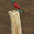 Northern Carmine Bee-eater by Tony Beck