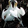 Northern Gannets by Donna Brown