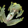 Northern Glassfrog Hyalinobatrachium by Thomas Marent
