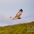 Northern Harrier Flight by Mike  Dawson