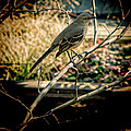Northern Mockingbird On The Highline by Chris Lord