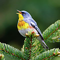 Northern Parula Parula Americana Male by Scott Leslie