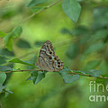 Northern Pearly Eye Butterfly by Donna Brown