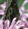 Northern Pearly-eye On Pink by Bill Tiepelman
