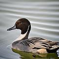 Northern Pintail Duck  by Saija  Lehtonen