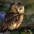 Northern Saw-whet Owl by Tony Beck
