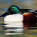 Northern Shoveler Anas Clypeata Male by Jasper Doest