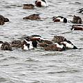 Northern Shoveler Duck - 0004 by S and S Photo