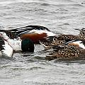 Northern Shoveler Duck - 0005 by S and S Photo