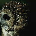 Northern Spotted Owl Strix Occidentalis by Joel Sartore