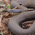 Northern Water Snake  by Bruce J Robinson