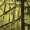 Northwest Mossy Tree by Carol Groenen