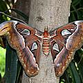 Not A Butterfly But An Atlas Moth by Eva Kaufman