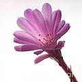 Notocactus Herderii Flower by Raul Gonzalez Perez