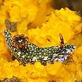Nudibranch On Sponge by Dave Fleetham