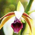 Nun's Cap Orchid -5 by Kerri Ligatich