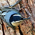 Nuthatch Heading Down by Laurel Talabere